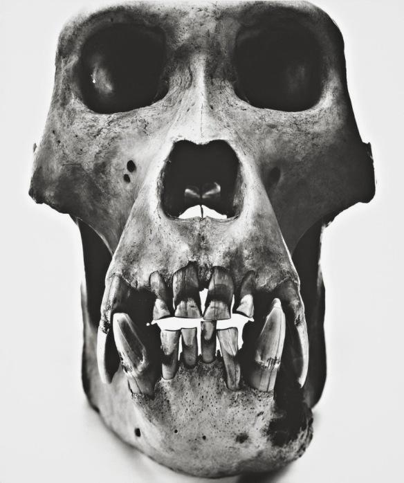 Gorilla (Male), 1986